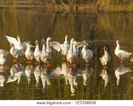 Flock og white geese walking on the ice of frozen lake