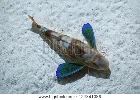 Tub gurnard (Chelidonichthys lucerna), also known as the sea robin. Wild life animal.