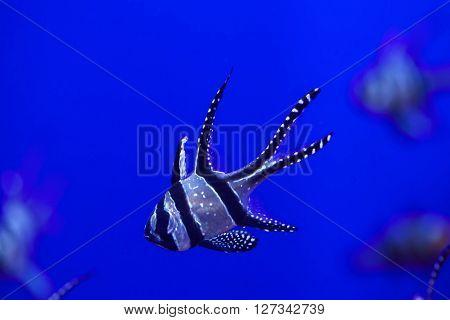 Banggai cardinalfish (Pterapogon kauderni). Wild life animal.