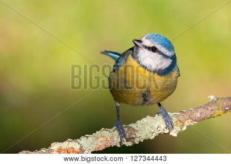 Nice tit with blue head perched on a branch looking up