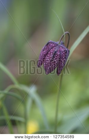 One flower of Snake's Head Fritillary (Fritillaria meleagris) flowering in a nature garden