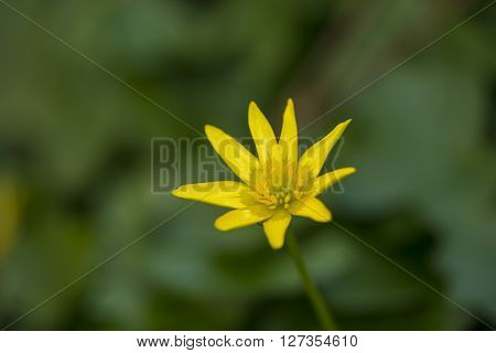 One flower of Lesser Celandine (Ranunculus ficaria) flowering in a nature garden