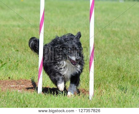 Black Mixed-Breed Dog Doing Weave Poles at Dog Agility Trial