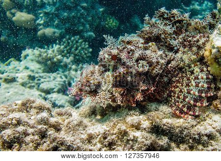 Scorpion stone fish disguising wich coral rock