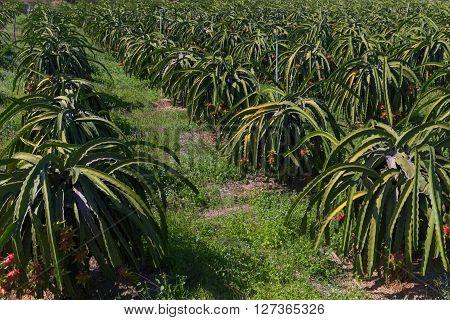 Dragon fruit or Pitaya Pitahaya plantation in Thailand Hylocer Undatus outdoors