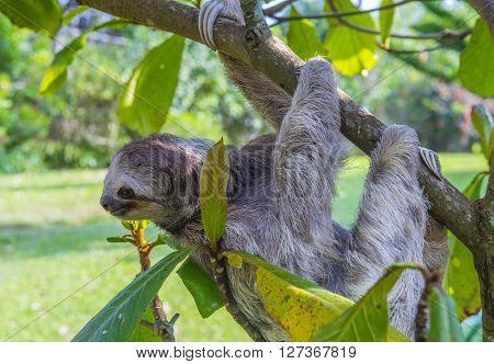 Sloth climbing a tree in costa rica rainforest