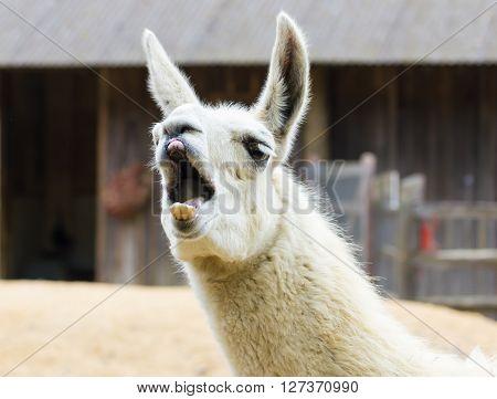 Llama lama smile and for fun children