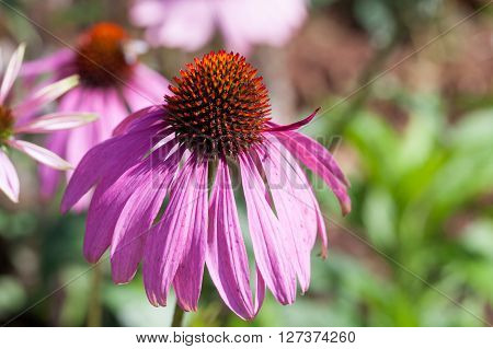 Purple Coneflowers (echinacea) , Close-up, Selective Focus..