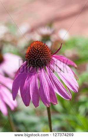Purple Coneflowers (echinacea) , Close-up, Selective Focus
