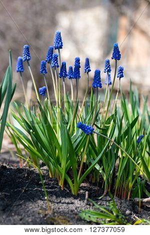 the very first blue flowers in spring