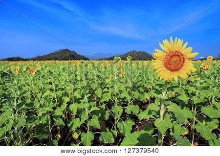 Sunflower In Focus In The Garden (selective Focus) In Lopburi, Thailand