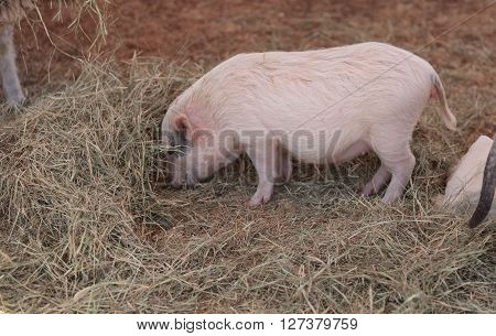 Pink pig known as a Gottingen minipig eats hay in a barnyard alongside goats and sheep.