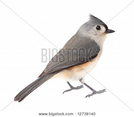 Tufted titmouse Baeolophus bicolor isolated on white poster