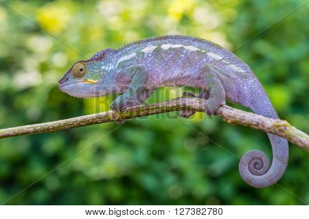 Chameleon creeping branch - Nosy Be Madagascar