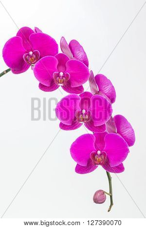 Purple Phalaenopis orchids close up over white background