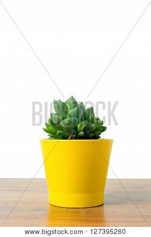 small cactus in a clay pots on a wooden background, Close up of Haworthia asperula, Liliaceae