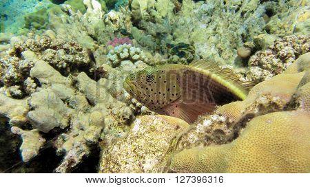 Freckled hawkfish, Paracirrhites forsteri, Coral Fish, Egypt