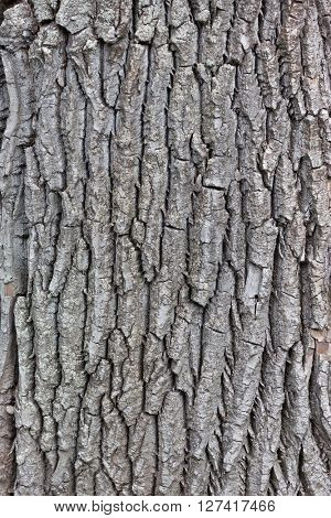 Texture of gray bark on an old tree