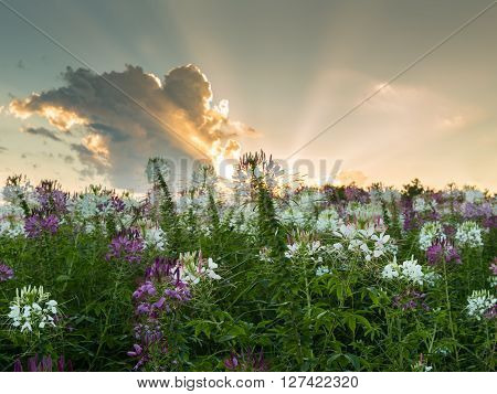 Spider Flower Cleome Spinosa Caparidaceae field sunset and sunbeam