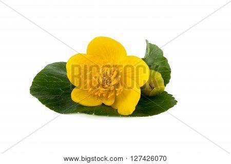 Yellow flower of caltha (Caltha palustris) on white background