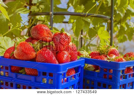 strawberries, blue box with strawberries, strawberries in the field