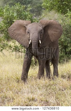 Young Elephant with small teeth being aggresive