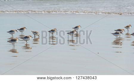 Sanderling Along Shoreline At Pismo Beach, California, Usa