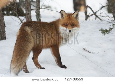 a europeannbred fox standing in snowy way
