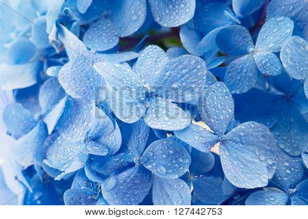 Soft blue hydrangea flowers, with dew.