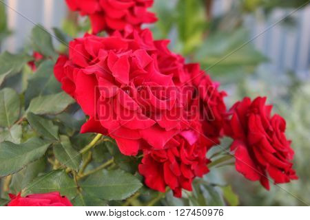 Several red roses on the bush in the garden. Rose bush with red flowers. Bright red roses growing in the garden.