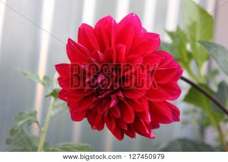 Red Dahlia flower in the garden. Big dahlia red flower growing in the garden on the stem. One flower of red dahlia.