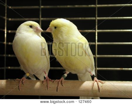 Pair Of Canaries In Cage