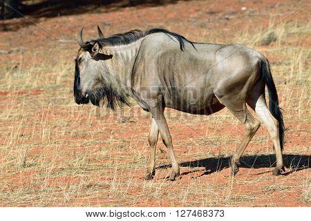 Blue wildebeest (Gnu or Connochaetes taurinus) in the Kalahari desert. Big animal in the nature habitat Namibia Africa