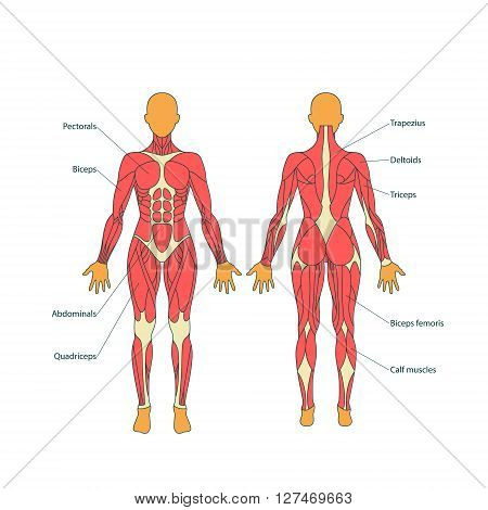Detailed illustration of human muscles. The female body. Exercise and muscle guide. Gym training. Muscle man anatomy. Front and rear view.