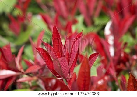 bush of syzygium big red for natural background