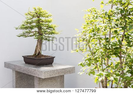 Picture of a bald Cypress Bonsai (Taxodium distichum) ** Note: Soft Focus at 100%, best at smaller sizes