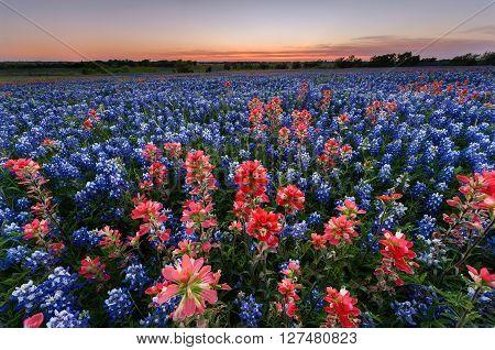 Wild flower Bluebonnet in Ennis City Texas USA at sunset dusk