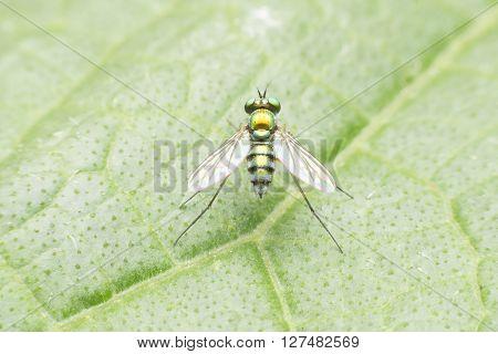 Fruit Flies With Beautiful Green Gold.