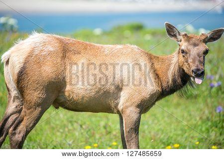 Tule Elk Cow - Cervus canadensis nannodes, Point Reyes National Seashore, California