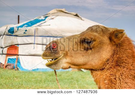 Camel in front of Mongolian yurt called a ger on steppe in central Mongolia