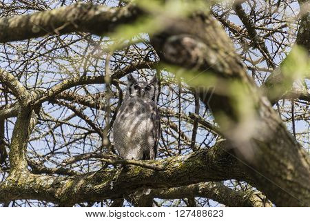 A scops owl perched in a tree on the Serengeti in Tanzania, Africa