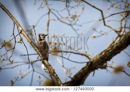 Pretty blue jay on branch early spring in habitat poster