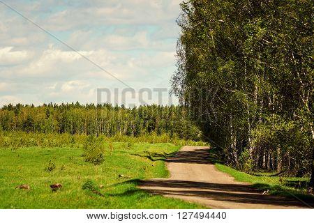 Road passing through the birch grove .