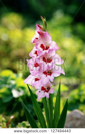 Pink gladiolus flower bloomed in the garden.