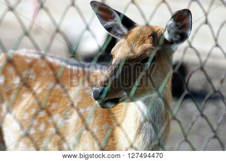 A young deer is in the aviary of the zoo.