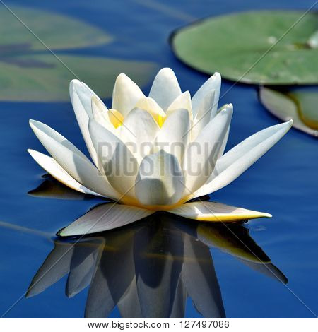 A Beautiful waterlily against blue lake water