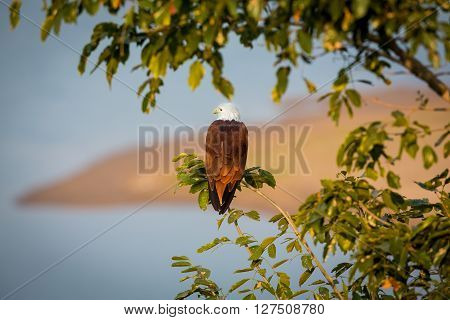The brahminy kite, also known as the red-backed sea-eagle , is a medium-sized bird of prey in the family scavengers, which also includes many other  raptors, such as eagles, buzzards, and harriers.