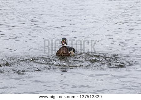 Male wood duck on a pond in spring