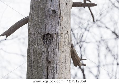 An Eastern Screech Owl in its habitat