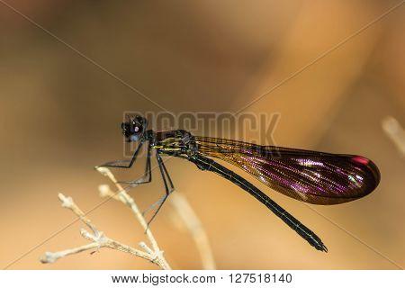 A  cute damsel Flies at water fall